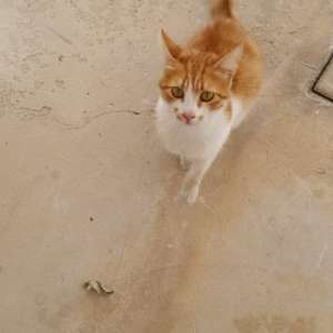 PLEASE give this female STERILIZED ginger cat a home.